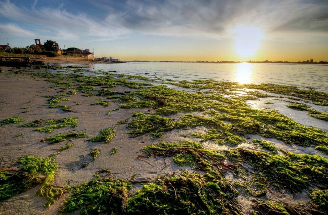Морским водорослям нашли полезное применение