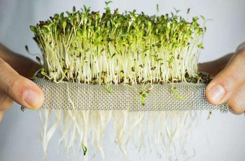 Выращивание микрозелени в домашних условиях как бизнес-идея
