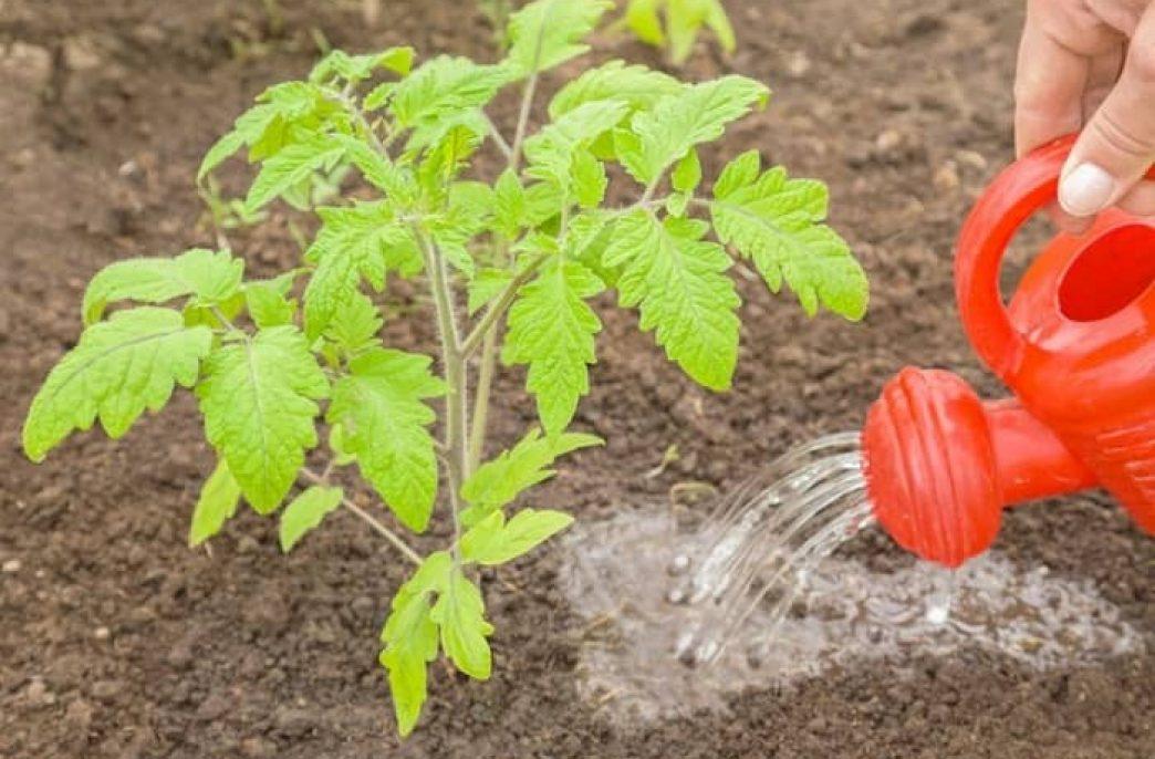 Нюансы подкормки и выбора удобрений для помидоров в открытом грунте
