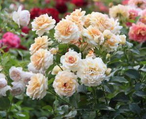 Чем стоит подкормить садовые розы осенью