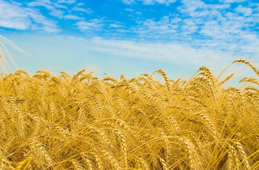 Урожай зерновых в Ростовской области может превысить 10 млн. тонн