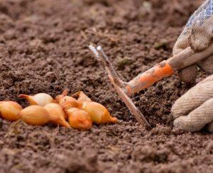 Инструкция, как правильно и вовремя сажать лук под зиму