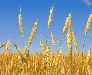 В 2020 году урожай зерна может превысить 122 млн. тонн
