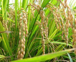 В России выросли посевные площади под рис