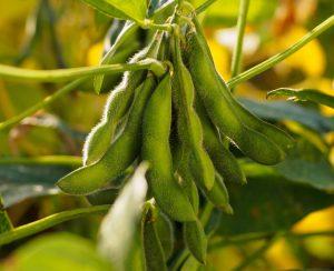 На Дальнем Востоке разработали метод прогноза урожайности сои