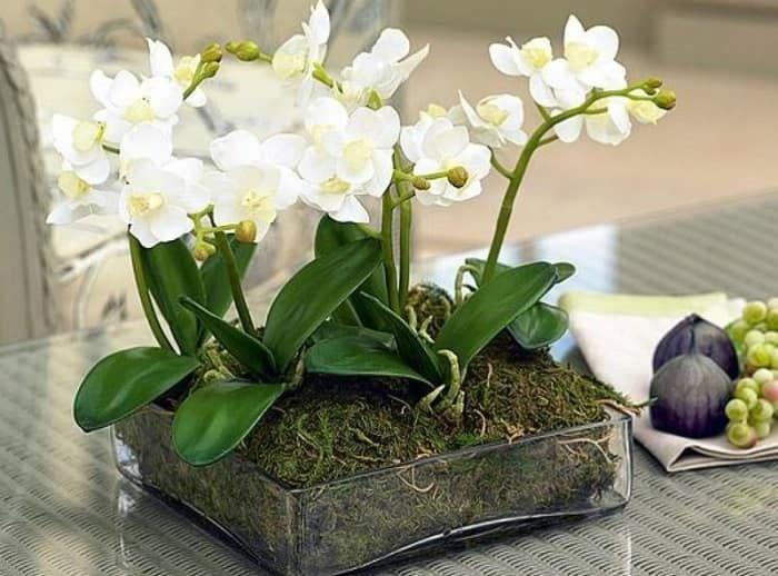 полить орхидею янтарной кислотой как разводить