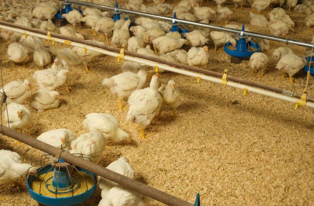 CleanBay Renewables переработает птичий помет