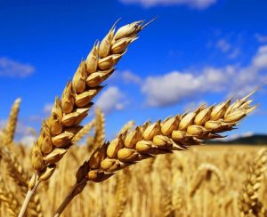 Урожай зерновых в России превысит 125 млн. тонн