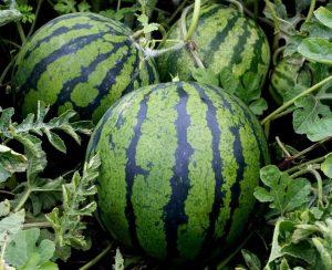 Чем подкормить арбузы, чтобы получить сладкий урожай