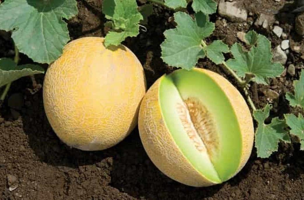 Как посадить и вырастить сладкую дыню в открытом грунте