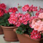 Чем подкормить герань для обильного цветения и роста