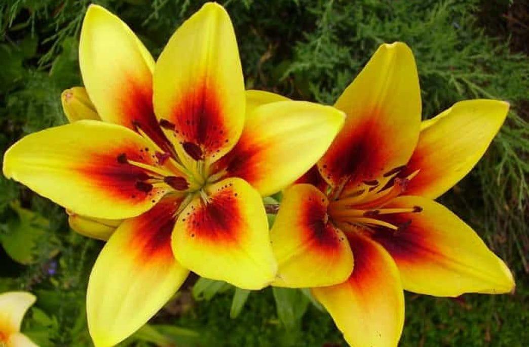 Как правильно подкармливать лилии весной и летом