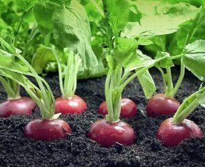 Как правильно сажать и выращивать редис в открытом грунте