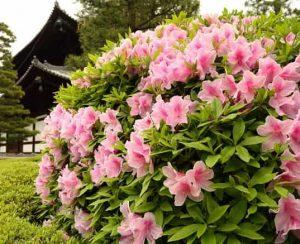 Чем подкормить рододендрон до и после цветения