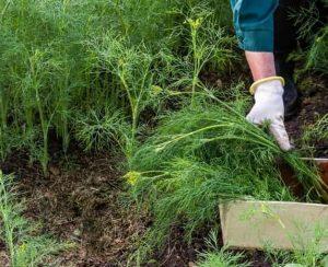 Чем подкормить укроп для активного роста и хорошего урожая