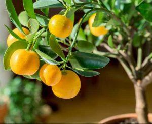 Как вырастить апельсиновое дерево из косточки в домашних условиях