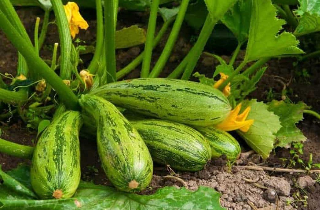 Цукини: выращивание и уход в открытом грунте