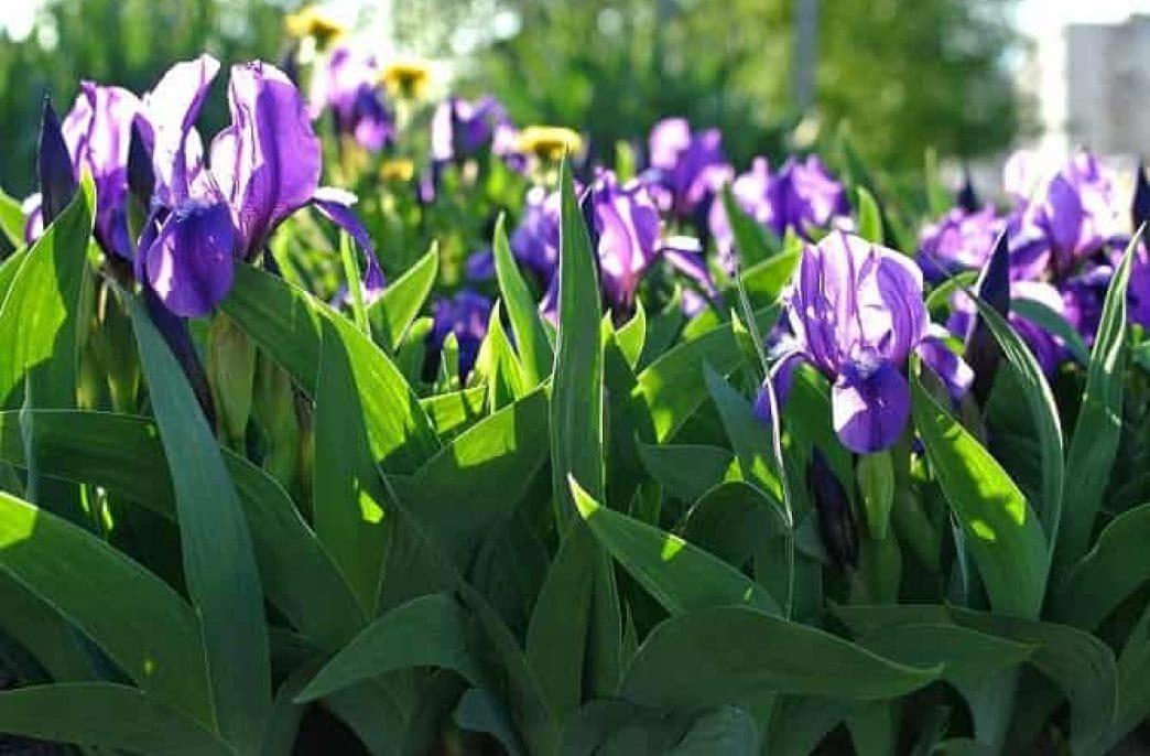 Чем подкормить ирисы для роста и пышного цветения