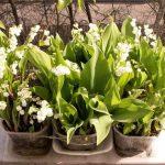 Ландыши: выращивание и уход в саду, размножение