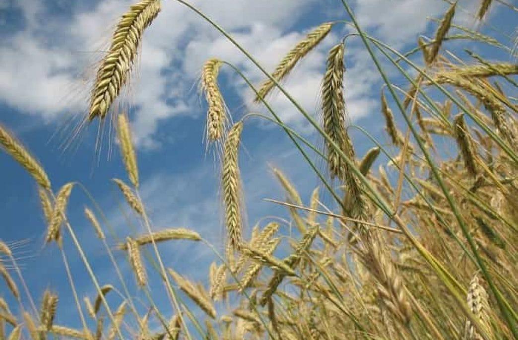 Подкормка пшеницы: карбамидом и другими удобрениями