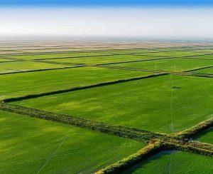 Где и как растет рис, можно ли выращивать его в домашних условиях