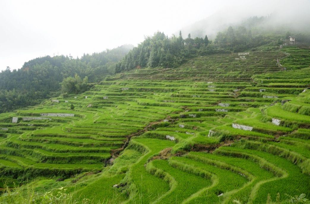 В Китае гибридный рис побил мировой рекорд