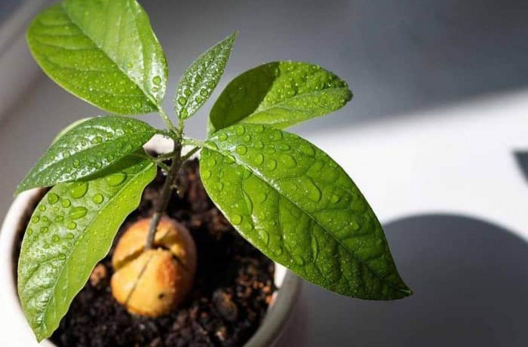 Выращивание авокадо из косточки: в домашних условиях и в открытом грунте