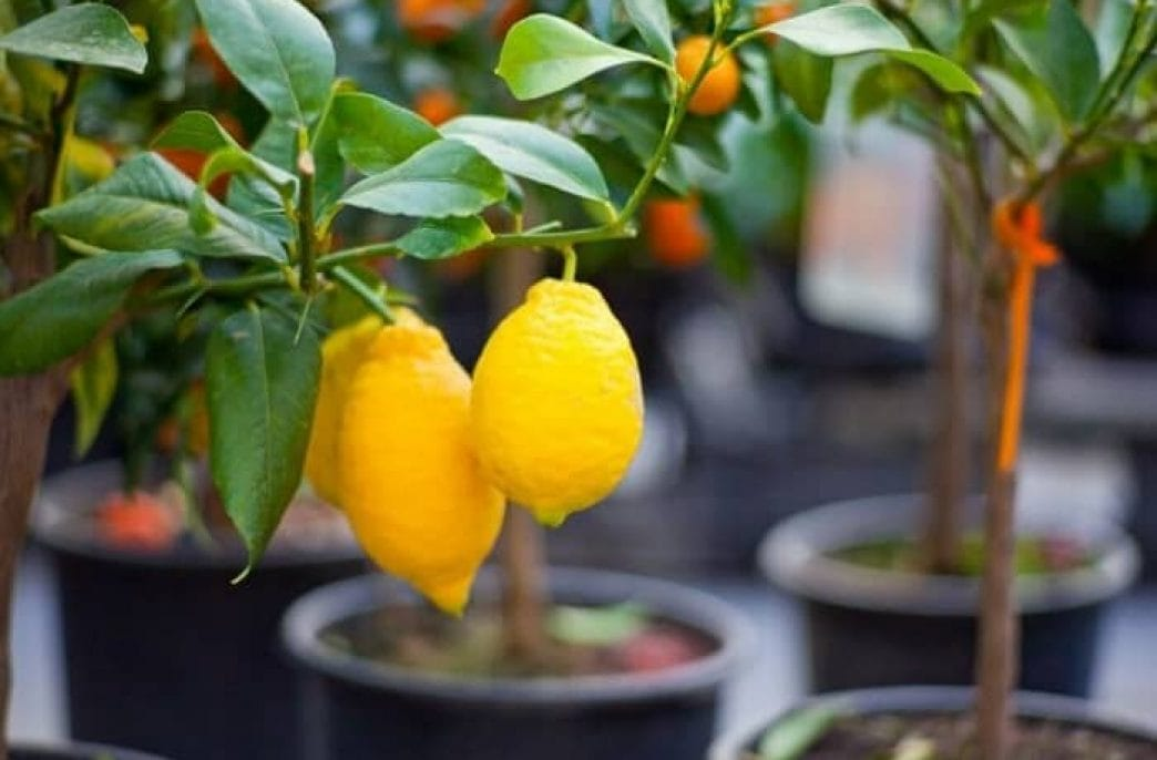 Как вырастить лимон в домашних условиях: уход, обрезка, прививка