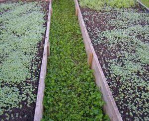Cидераты для огорода осенью: когда сеять и закапывать