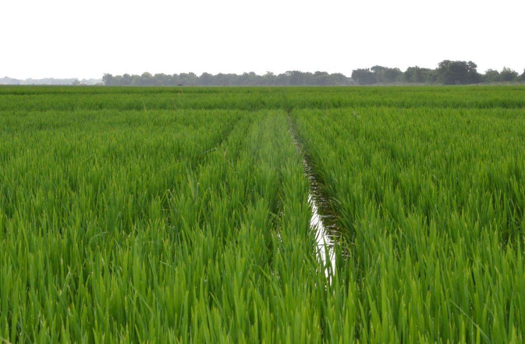 Найден ген азотной эффективности риса