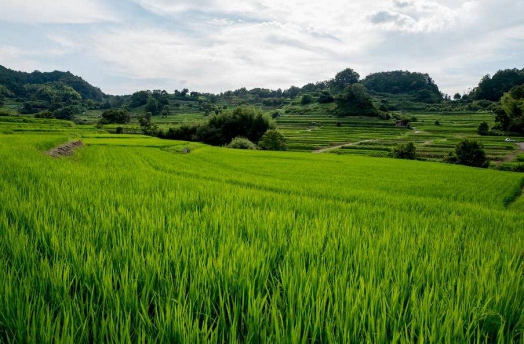 Найдена бактерия, защищающая рис от болезней