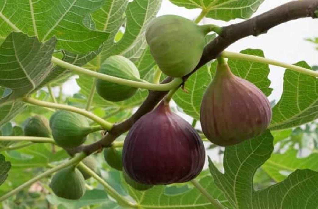 Выращивание инжира в открытом грунте, уход и размножение