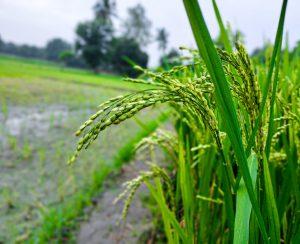 Гены помогут снизить потери азотных удобрений