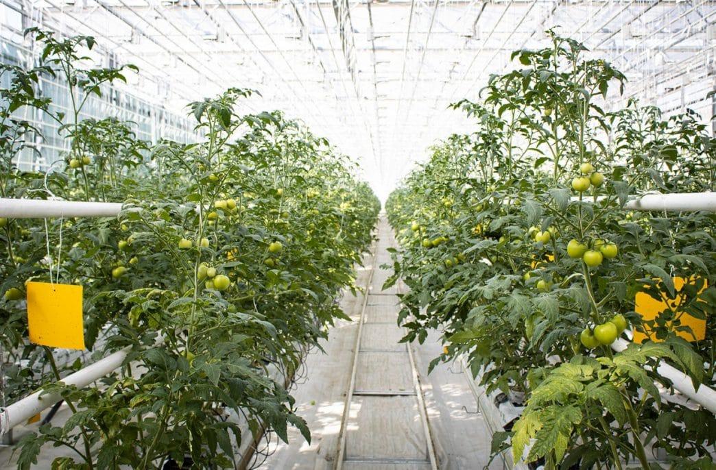 Производство в России овощей в теплицах вырастет на 7,6%