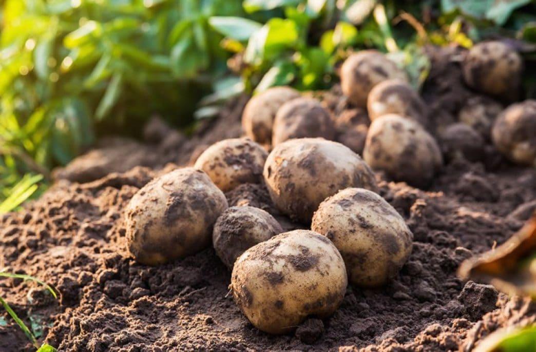 Какие сидераты лучше сеять осенью под картофель