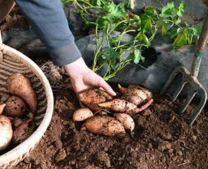 Как вырастить батат на огороде?