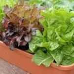 Правила выращивания салата на подоконнике и на огороде