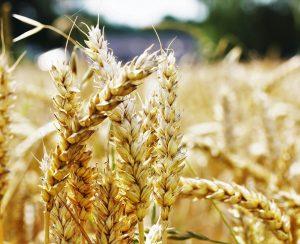 Bayer и Ragt будут выводить новые гибриды пшеницы