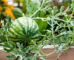 Как посадить и вырастить арбуз в открытом грунте