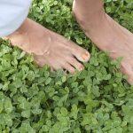 Белый клевер: как сажать для газона и ухаживать за ним