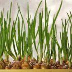 Как правильно сажать и выращивать репчатый лук