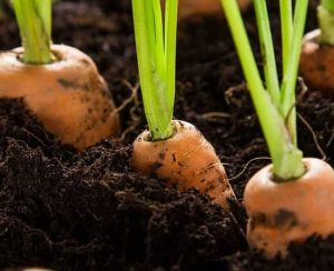 Посадка моркови: когда и как сажать в открытый грунт, пошаговые инструкции