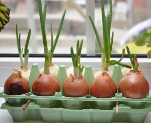 Как правильно посадить и вырастить лук весной