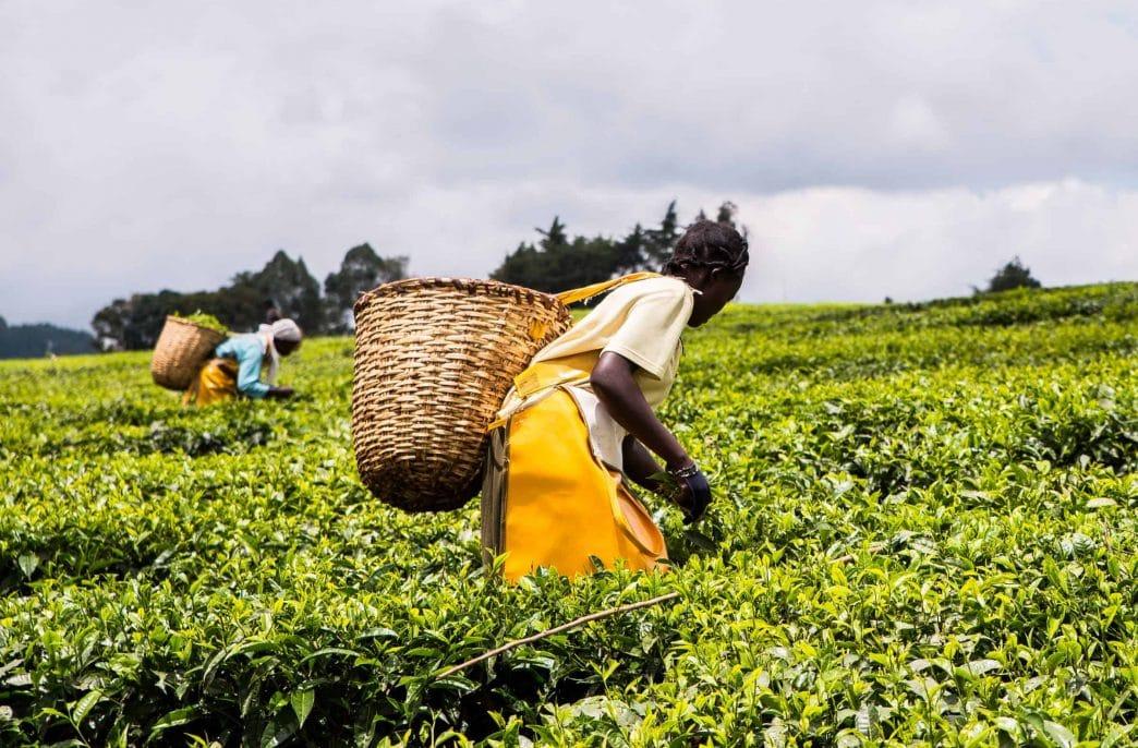 В Кении будут выпускать «зеленые» удобрения