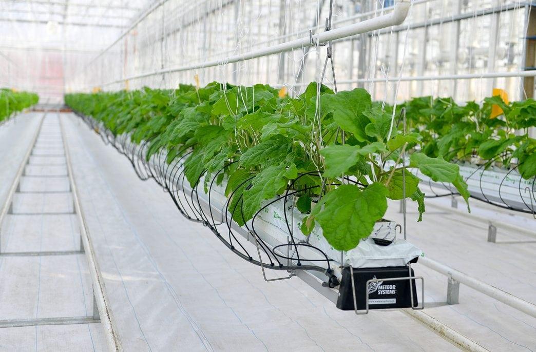 В Нижегородской области увеличатся урожаи тепличных овощей