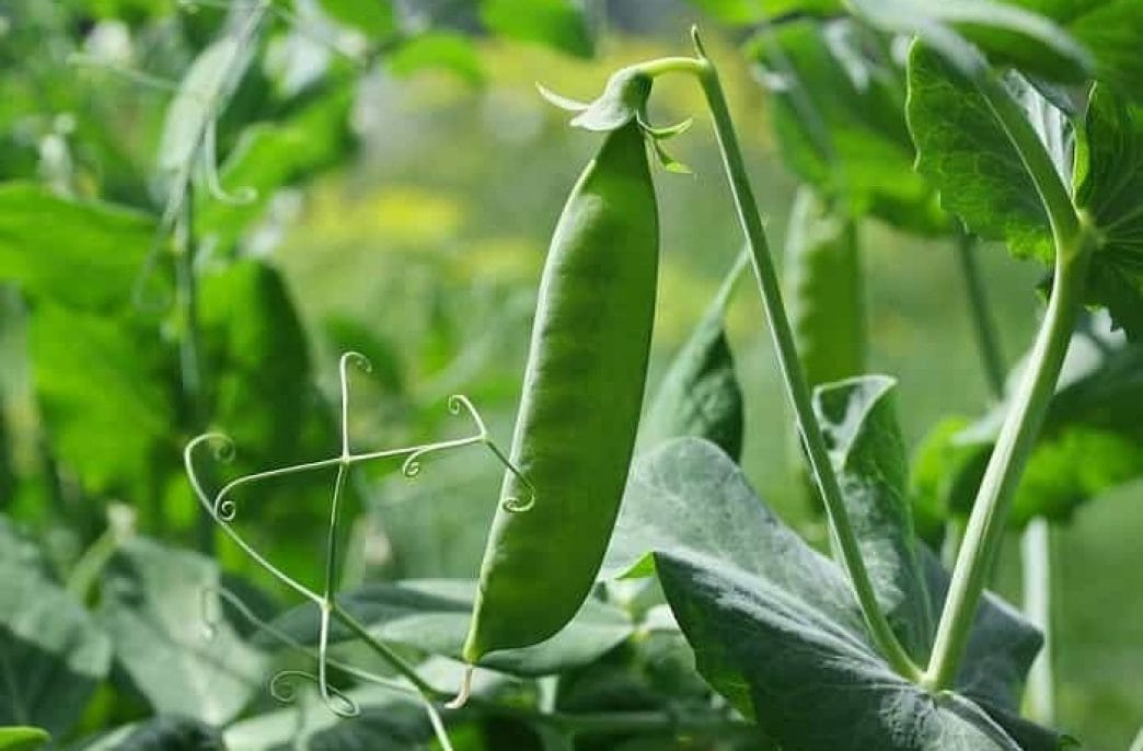 Как выращивать горох в открытом грунте: советы и рекомендации дачникам
