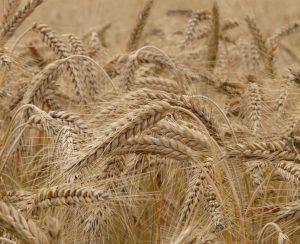 Сегодня заработают гибкие пошлины на зерно