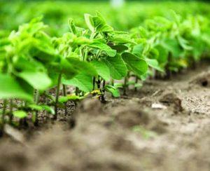 Соя: особенности выращивания, сбор урожая, правильная посадка и уход
