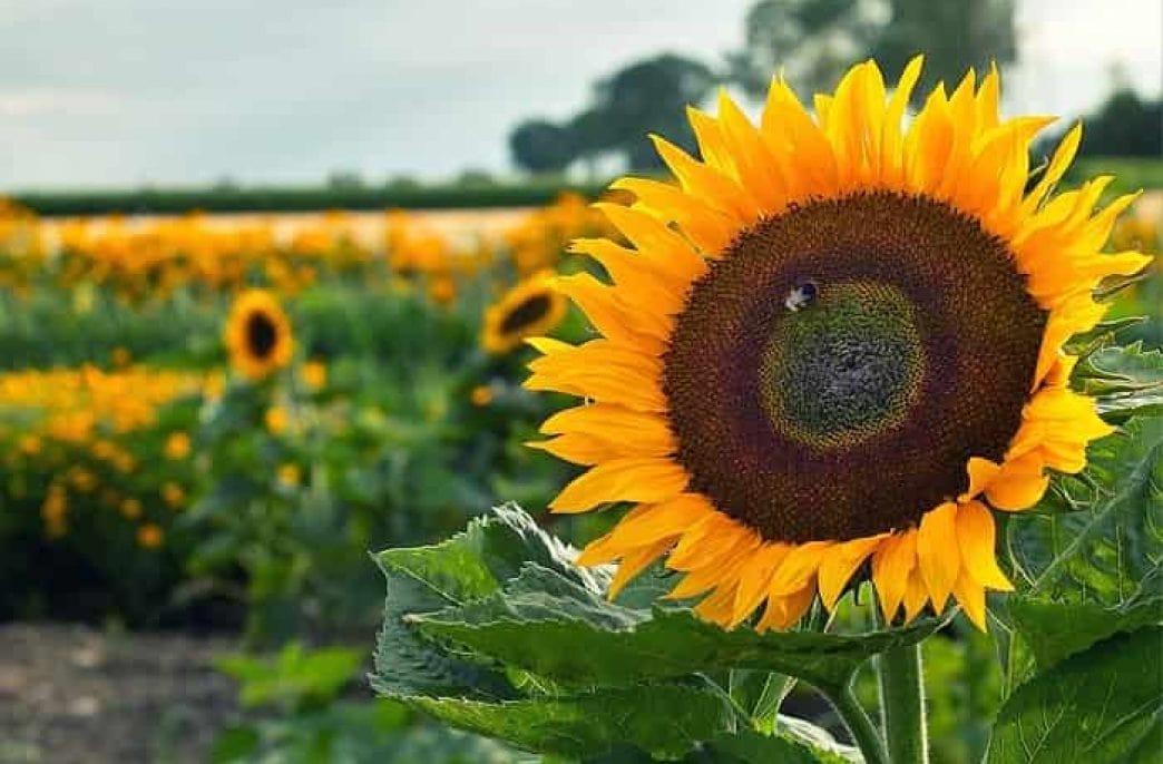 Выращивание подсолнечника: технология, рекомендации