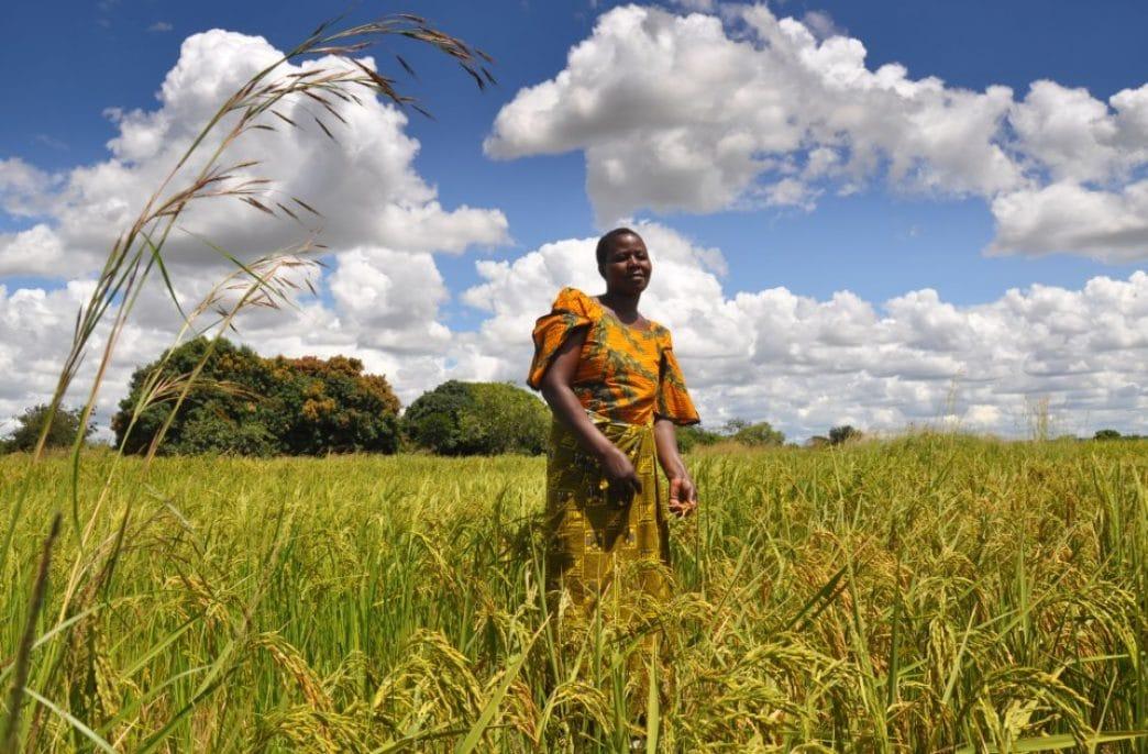 В Африке испытают стратегию смешанного возделывания